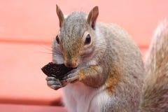 Wiewiórka, Siwieje (potomstwa) Obrazy Stock