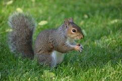 Wiewiórka Trzyma dokrętki w Gęstej Zielonej trawie Zdjęcia Stock