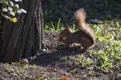 Wiewiórka uwalnia w dzikim Zdjęcie Stock