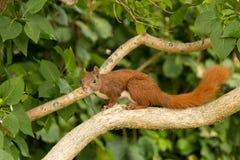 Wiewiórka w akci obsiadaniu na gałąź Zdjęcie Royalty Free