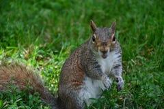 Wiewiórka w Boston Zdjęcie Stock