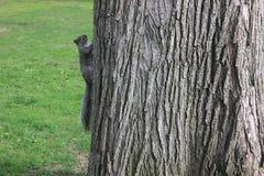 Wiewiórka w Boston zdjęcie royalty free