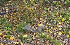 Wiewiórka w central park, Nowy Jork obraz royalty free