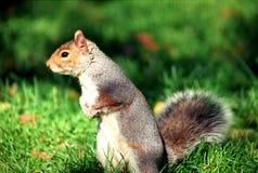 Wiewiórka w centrala parku obrazy stock