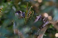 Wiewiórka w Costa Rica fotografia stock