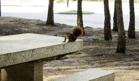 Wiewiórka w drewnach fotografia royalty free
