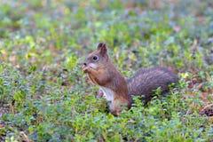 Wiewiórka w drewnianym zakończeniu up Obraz Stock