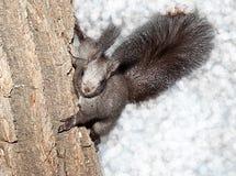 Wiewiórka w drewnie fotografia royalty free