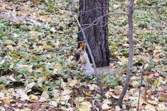 Wiewiórka w drewnie Zdjęcie Royalty Free