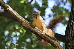 Wiewiórka w Drzewie fotografia royalty free