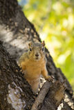 Wiewiórka w drzewie zdjęcia royalty free