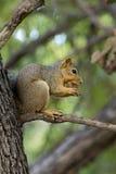 Wiewiórka w drzewie Zdjęcie Stock