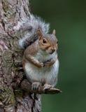Wiewiórka w drzewie zdjęcie royalty free