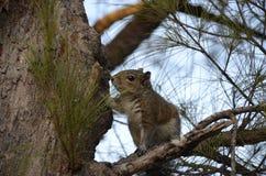 Wiewiórka w drzewie Obraz Stock