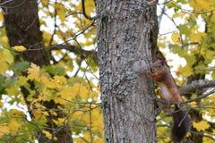 Wiewiórka w drzewie na jesieni Obraz Stock