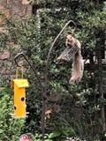 Wiewiórka w Frontowego jarda łasowania dokrętek Acorns obrazy stock