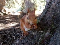 Wiewiórka w halnym lesie Fotografia Royalty Free