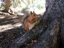 Wiewiórka w halnym lesie Zdjęcia Royalty Free