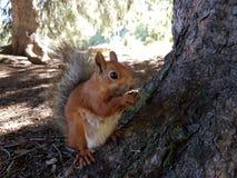 Wiewiórka w halnym lesie Obrazy Stock