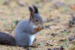 Wiewiórka w jesień Zdjęcia Stock