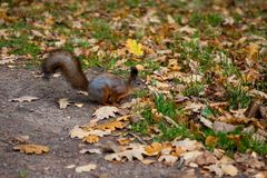 Wiewiórka w jesień parku obrazy stock