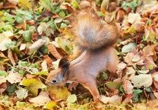 Wiewiórka w jesień parku obraz stock