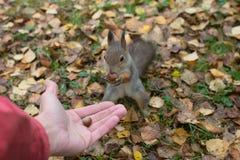 Wiewiórka w jesień lesie Zdjęcia Royalty Free