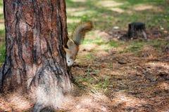 Wiewiórka w lato parku Obraz Royalty Free