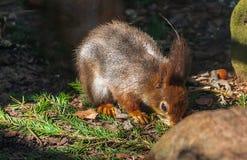 Wiewiórka w Latvia fotografia royalty free