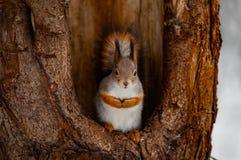 Wiewiórka w lesie obrazy stock