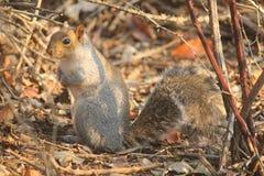 Wiewiórka w lesie zdjęcia royalty free