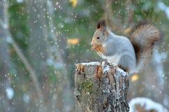 Wiewiórka w lesie Obraz Stock