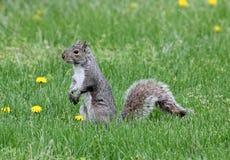Wiewiórka w lewica profilu Obrazy Stock