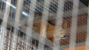 Wiewiórka w metal klatki widoku zbiory