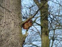 Wiewiórka w miasto parku zdjęcie stock