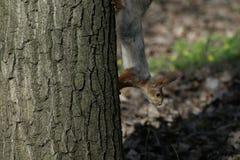 Wiewiórka w naturalnym siedlisku Wiewiórka szybko wspina się drzewa, znajduje jedzenie i je je, Pogodny wiosna dzień w lesie Obraz Royalty Free