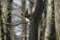 Wiewiórka w naturalnym siedlisku Wiewiórka szybko wspina się drzewa, znajduje jedzenie i je je, Pogodny wiosna dzień w lesie Obrazy Stock