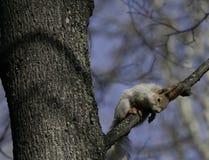 Wiewiórka w naturalnym siedlisku Wiewiórka szybko wspina się drzewa, znajduje jedzenie i je je, Pogodny wiosna dzień w lesie Fotografia Stock