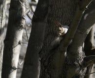 Wiewiórka w naturalnym siedlisku Wiewiórka szybko wspina się drzewa, znajduje jedzenie i je je, Pogodny wiosna dzień w lesie Zdjęcie Royalty Free