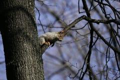 Wiewiórka w naturalnym siedlisku Wiewiórka szybko wspina się drzewa, znajduje jedzenie i je je, Pogodny wiosna dzień w lesie Zdjęcia Royalty Free