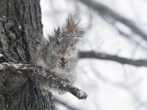 Wiewiórka w śniegu Obrazy Royalty Free