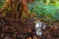 Wiewiórka w ostrzeżeniu Fotografia Stock