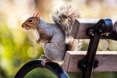 Wiewiórka w parku Zdjęcie Stock