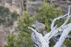 Wiewiórka w parku Fotografia Royalty Free