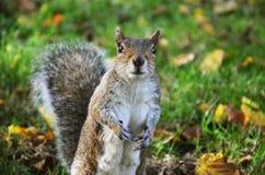 Wiewiórka w parku je piec arachidy Zdjęcie Stock