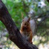 Wiewiórka w parku na pogodnym wiosna dniu Obraz Stock