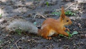 Wiewiórka w parku na pogodnym wiosna dniu Zdjęcia Royalty Free