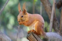 Wiewiórka w parku na pogodnym wiosna dniu Zdjęcia Stock