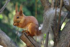 Wiewiórka w parku na pogodnym wiosna dniu Zdjęcie Royalty Free