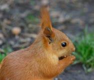 Wiewiórka w parku na pogodnym wiosna dniu Fotografia Stock